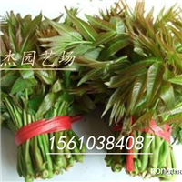 红油香椿苗价格