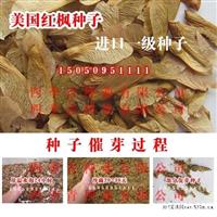 供应:进口美国红枫种子,美国红枫价格,,美国红枫播种技术