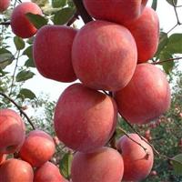 矮化苹果苗,烟富0号,烟富三号,美国八号,2001苹果苗