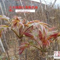 大量供应临朐红香椿树苗