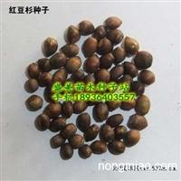 江苏红豆杉种子