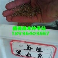 黑麦草种子报价
