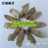 日本红枫种子