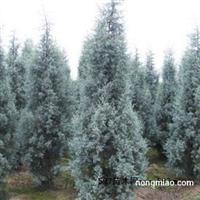 供应蓝冰柏 圣诞树首选 蓝色系彩叶树种之冠