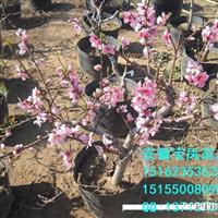 桃树盆景盆栽树桩基地价格