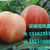 水蜜桃树苗|水蜜桃树苗新品种|今年水蜜桃树苗新品种