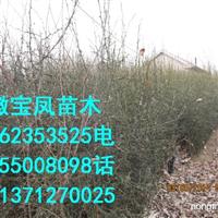 广西枳壳大小苗|桂林枸橘幼幼苗基地