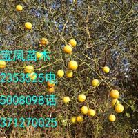 药用枳树种子价格|药用枸橘种球基地