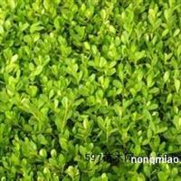 黄杨 青州黄杨 30公分黄杨价格 哪里有好黄杨
