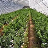 低价红豆杉-红豆杉功效-红豆杉养殖