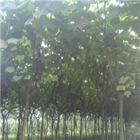 长期出售木芙蓉2--15公分 成都专业种植木芙蓉基地