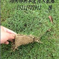 马尼拉草皮供应种植基地在哪?