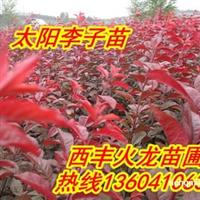 急售2013年秋光辉海棠苗,王族海棠苗,密枝红叶李