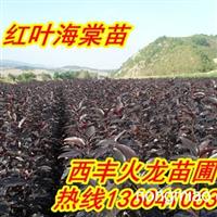 火龙苗圃急售王族海棠苗,红叶李,紫叶李,123果树苗