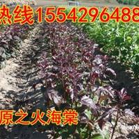 山东销售光辉海棠苗,高原之火海棠苗