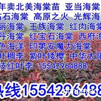 李家苗圃大量卖王族海棠苗,紫叶海棠苗,红叶海棠苗
