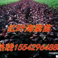 紫叶海棠苗,红叶海棠苗预售100万株 15542964888