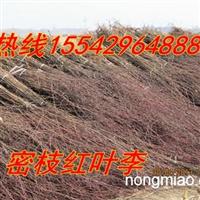 铁岭沙河苗圃低价卖密枝红叶李子苗,紫叶李子苗