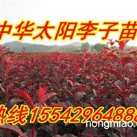东北红叶李接穗、中华太阳红叶李,密枝红叶李,紫叶李,