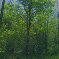 本人自家山场 长期出售各种绿化移栽用山树