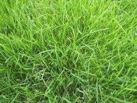 花木之乡草坪供应商-鄢陵金龙草坪苗木基地草坪-马呢啦;高羊茅