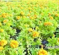 一鸣花卉出售最好的孔雀草
