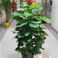 北京苗圃批发大中小绿植盆栽 量大优惠 免费送货上门