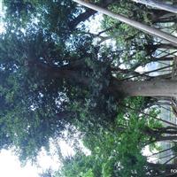 长期供应大规格景观榕树