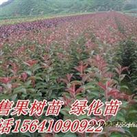 高原之火海棠苗、高原之火海棠价格