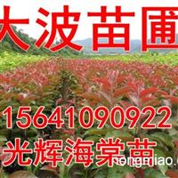 急售密枝红叶李,批发密枝红叶李子苗
