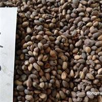 供应 白皮松种子多少钱 松树种子 白皮松种子价格 林木种子