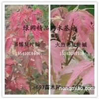 红叶复叶槭 多情复叶槭.粉叶复叶槭