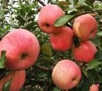 辽宁熊岳保权苗圃 供应寒富苹果苗 保质保量 597苗木