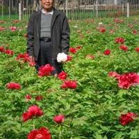供应观赏芍药苗,芍药花,牡丹苗,牡丹年宵花,牡丹种子