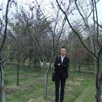 供应红枫4-10cm