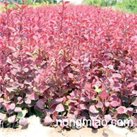 大量供应红叶小檗种子,床苗,工程苗,量大优惠,欢迎合作