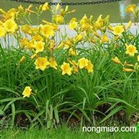 出售麦冬草,玉簪,石蒜,金边玉簪,美人蕉,大花萱草,德国鸢尾