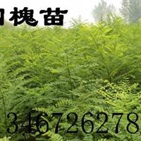★国槐小苗哪里有 1-15国槐