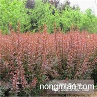 大量供应沭阳红叶小檗工程苗,床苗,红叶小檗种子等