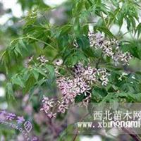 苦楝 楝树 紫花树 森树大量供应