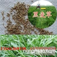 大量供应黑麦草种子 低价售出 欢迎选购