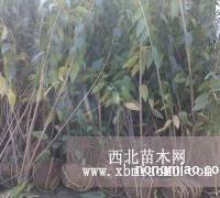诗雅园林供应1.5米高腊梅小苗