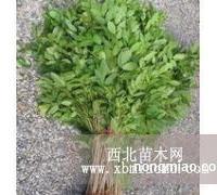 诗雅园林供应紫藤小苗