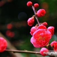 红梅|红梅价格|红梅小苗批发