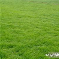 供应马尼拉草坪 马尼拉草坪价格