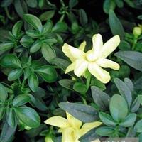 沭阳恒景园林长期大量供应各种规格云南黄馨,量大从优