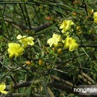 黄馨,黄馨基地,云南黄馨