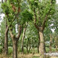 常年供应皂角树