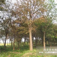 供应:榉树8~30公分