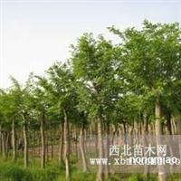 供应:朴树10、15、20、25、30、35、40公分